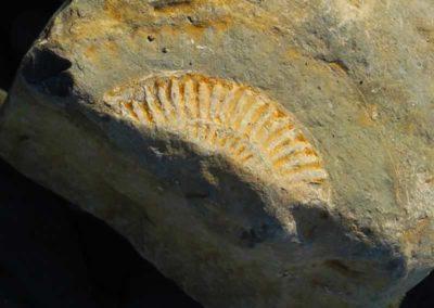 40.6_St-Pancras-Chapel_Kilve-Beach_ammonite-fossil